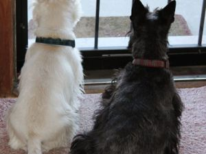 Westie and Scottie